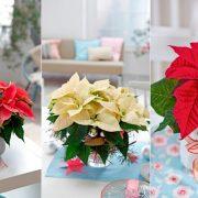 Αγοράστε ένα Αλεξανδρινό ως εορταστική διακόσμηση ή ως δώρο τις ημέρες των γιορτών
