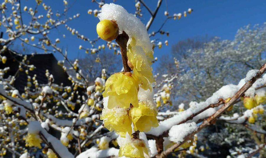 Χειμωναθός: Το τραγουδισμένο λουλούδι του χειμώνα