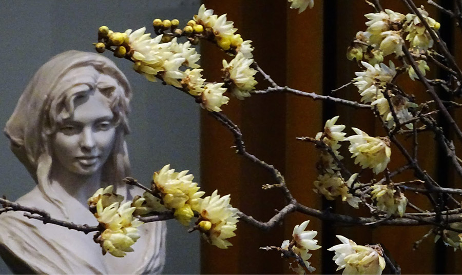 Η ομορφιά των λουλουδιών του υμνήθηκε σε ποιήματα στην Κίνα ήδη από τον 11ο αιώνα!