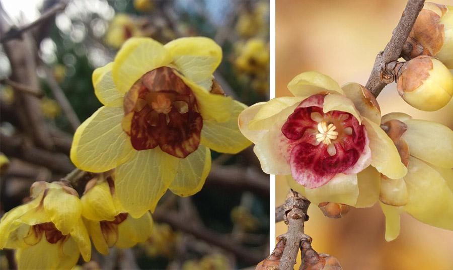 Τα όμορφα λουλούδια του χειμωνανθού μοιάζουν με μικρό αστέρι, υποκίτρινου ή κίτρινου χρώματος και φέρουν μια χαρακτηριστική κόκκινη καρδιά στο κέντρο τους