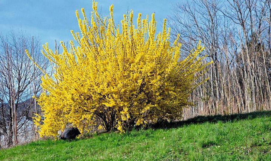 Ο χειμωνανθός είναι ιδιαίτερα δημοφιλές φυτό στην Ευρώπη, παρουσιάζει σχετικά αργή ανάπτυξη και μπορεί να φτάσει σε ύψος τα 2-3 μέτρα. Βρείτε του μία θέση στον κήπο σας που να επιτρέπει να φθάνει το άρωμα των λουλουδιών του στο εσωτερικό του σπιτιού σας