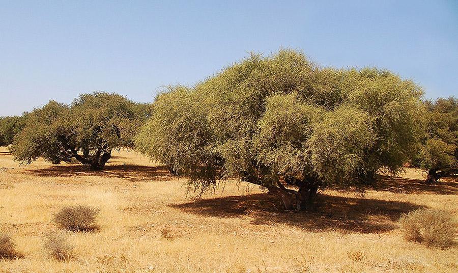 δέντρα argan