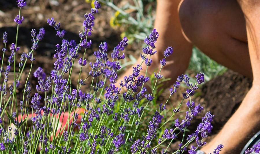Τα πέντε «εντομοαπωθητικά» φυτά που θα σώσουν από τα κουνούπια!