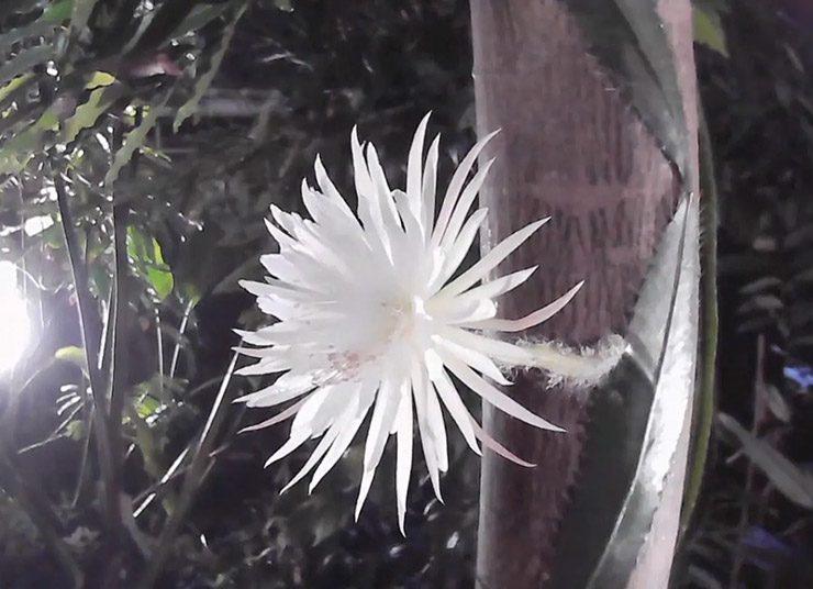 Παρακολουθήστε ένα σπάνιο λουλούδι να ανθίζει!