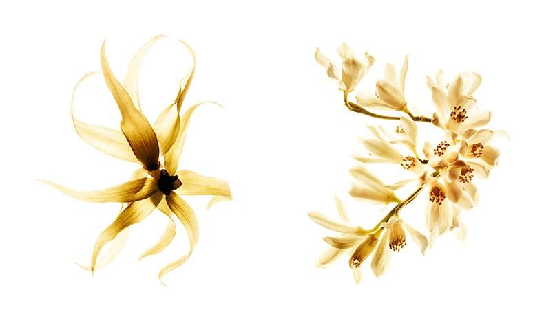 Ο αρωματοποιός Olivier Polge πρόσθεσε white musk στη σύνθεση για να δώσει μια πιο βελούδινη αίσθηση στα πέταλα του του ιλάνγκ-ιλάνγκ και αύξησε τη φρεσκάδα των πορτοκαλανθών με νότες μανταρινιού, γκρέϊπφρουτ και φραγκοστάφυλλου