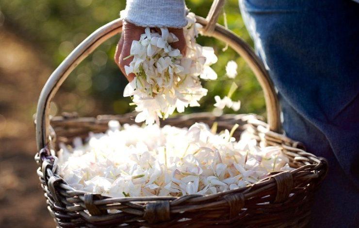 Φέτος, το φεστιβάλ γιασεμιού στην Γκρας θα γιορταστεί στις 21 Ιουλίου και για τρεις ημέρες