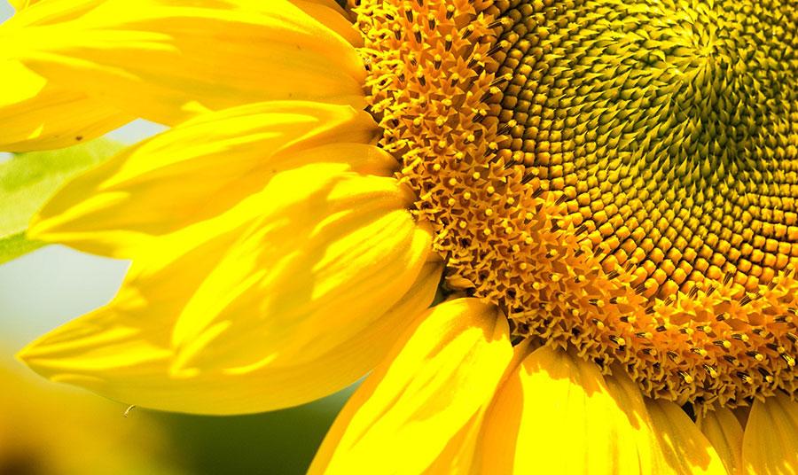 Το ηλιοτρόπιο, το λουλούδι που στρέφεται στη μεριά του ήλιου μαρτυρά τον έρωτα της Κλυτίας προς τον θεό Ήλιο στην ελληνική μυθολογία