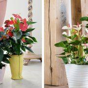 Εξαιρετικά ανθεκτικό και πανέμορφο φυτό, το ανθούριο φιλτράρει τον αέρα από τις περισσότερες επικίνδυνες ουσίες