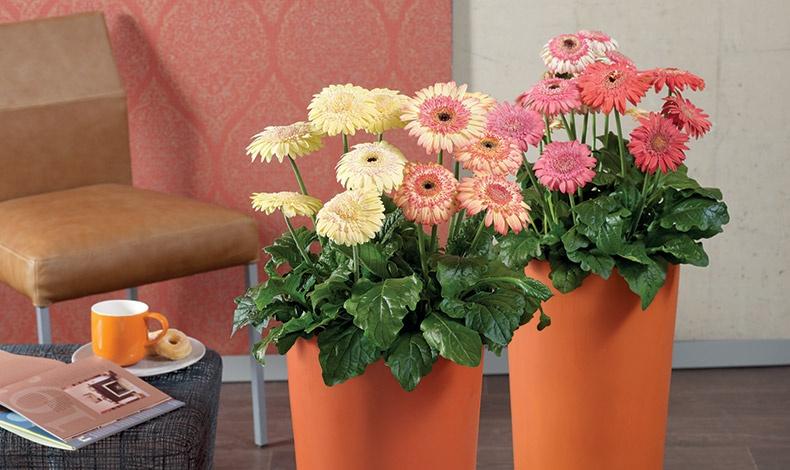 Εκτός από το όμορφα άνθη της, η ζέρμπερα μας απαλλάσσει από σημαντική ποσότητα τριχλωροαιθυλενίου, η οποία απελευθερώνεται στον αέρα ειδικά κατά το πλύσιμο και στέγνωμα των ρούχων