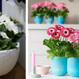 Οι ζέρμπερες με ποικιλία χρωμάτων στα άνθη τους έχουν ανάγκη από επαρκή φωτισμό και συχνό πότισμα, αλλά γενικά δεν χρειάζονται ιδιαίτερη φροντίδα