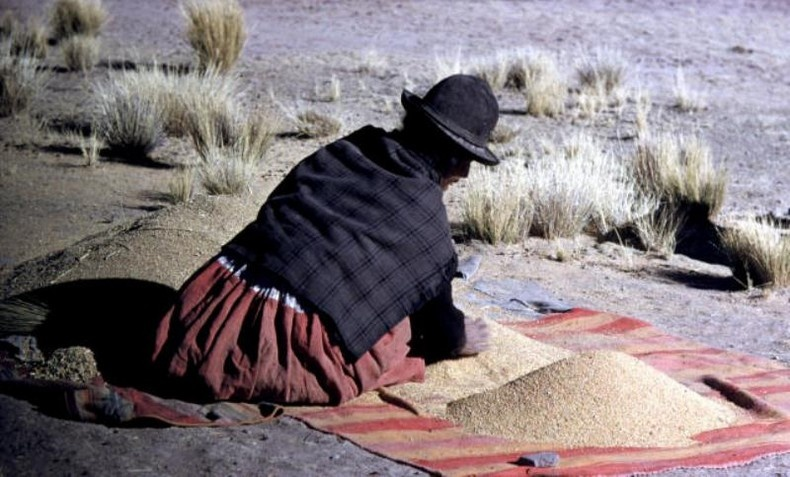 Στις Άνδεις από όπου και η καταγωγή του, το κινόα είναι γνωστό ως