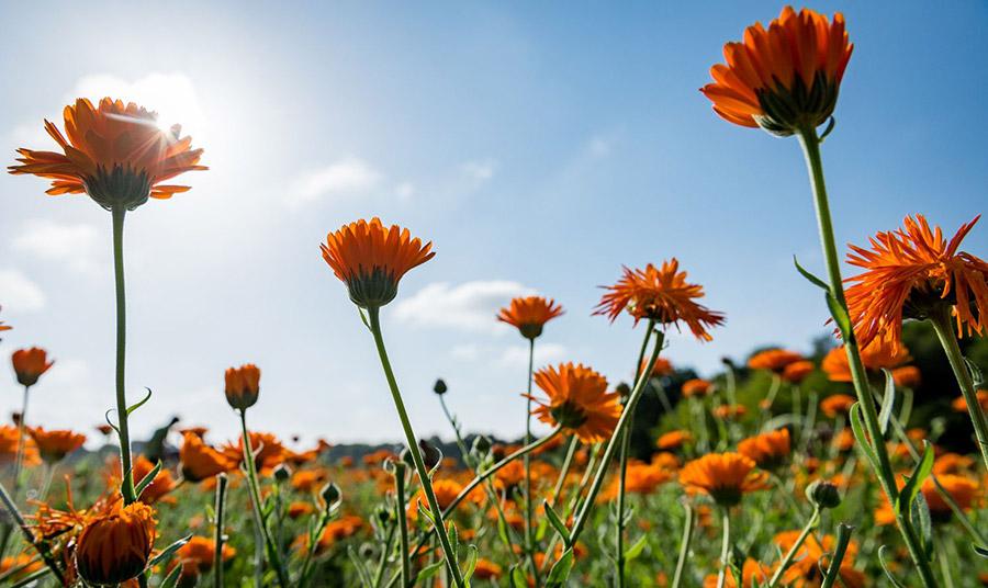 Στον ανοιξιάτικο ήλιο, το πορτοκαλί χρώμα της ευεργετικής καλέντουλας ανθίζει! Για να μαζευτεί ένα κιλό από τα άνθη της απαιτούνται 4 ώρες εργασίας!