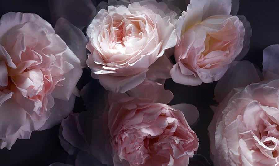 Στην Grasse στη Γαλλία, η ποικιλία Rose de Mai, από την οικογένεια των centifolia, ανθίζει εδώ και 500 χρόνια!