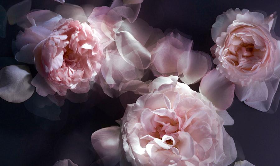 Από τις 100 ποικιλίες τριαντάφυλλου, μόνο δύο χρησιμοποιούνται στην παρασκευή αρωμάτων, η Rosa damascena και η Rosa centifolia