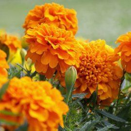 Οι κατιφέδες είναι το λουλούδι του Οκτωβρίου και συμβολίζουν το πάθος και τη δημιουργικότητα. Λέγεται βεβαίως ότι ταυτίζονται και με τη λύπη