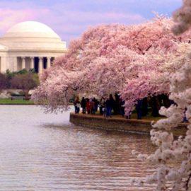 Ένα φεστιβάλ που νομίζω ότι θα θέλαμε να είμαστε εκεί. Οι Ανθισμένες Κερασιές στην πρωτεύουσα των ΗΠΑ προσελκύουν πάνω από 1,5 εκατομμύριο επισκέπτες κάθε χρόνο