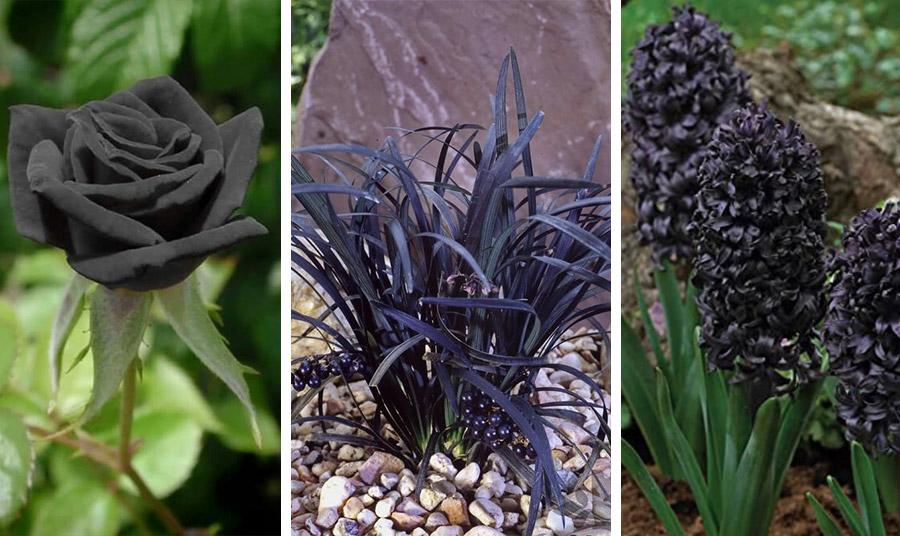 Μαύροι υάκινθους και μαύρα τριαντάφυλλα… Σπάνιες ποικιλίες και για τα δύο λουλούδια που ξετρελαίνουν!