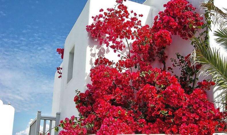 Έκρηξη των χρωμάτων από τις βουκαμβίλιες, με φόντο το ολόλευκο των τοίχων και το μπλε του ουρανού