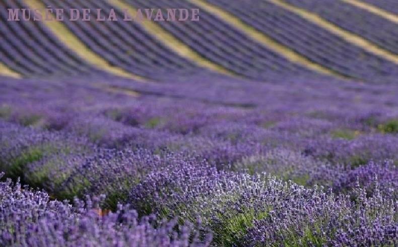 Αξέχαστες αναμνήσεις από τα λιβάδια ανθισμένης λεβάντας στη γαλλική Προβηγκία και το μουσείο αφιερωμένο στο όμορφο φυτό