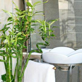 Τα μπαμπού είναι μία εξαιρετική επιλογή για το μπάνιο, τέλεια και για το σχήμα και το στιλ τους, οι ψηλοί και καταπράσινοι αυτοί θάμνοι λατρεύουν το νερό και την υγρασία